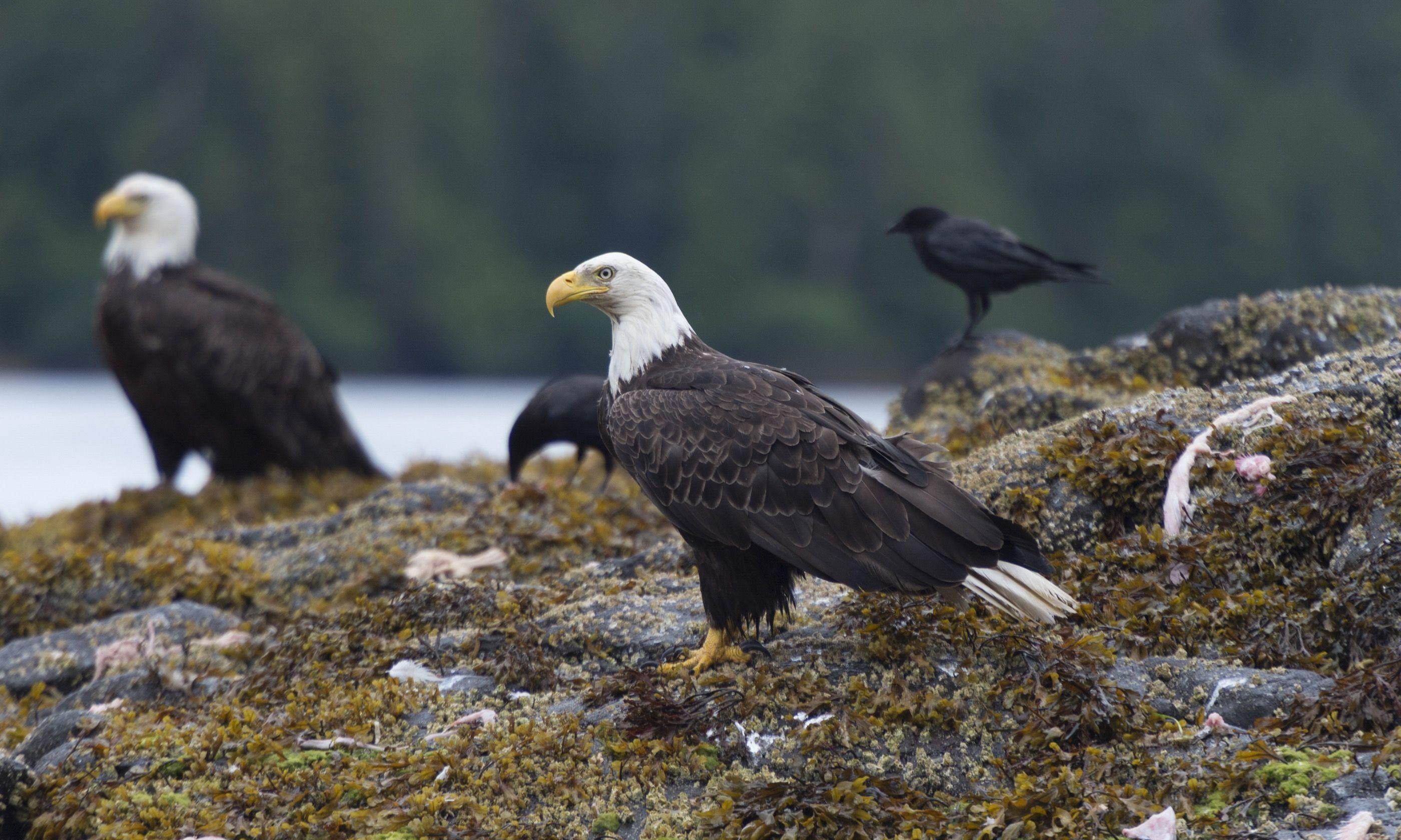 Bald Eagles on Graham Island (Shutterstock.com)