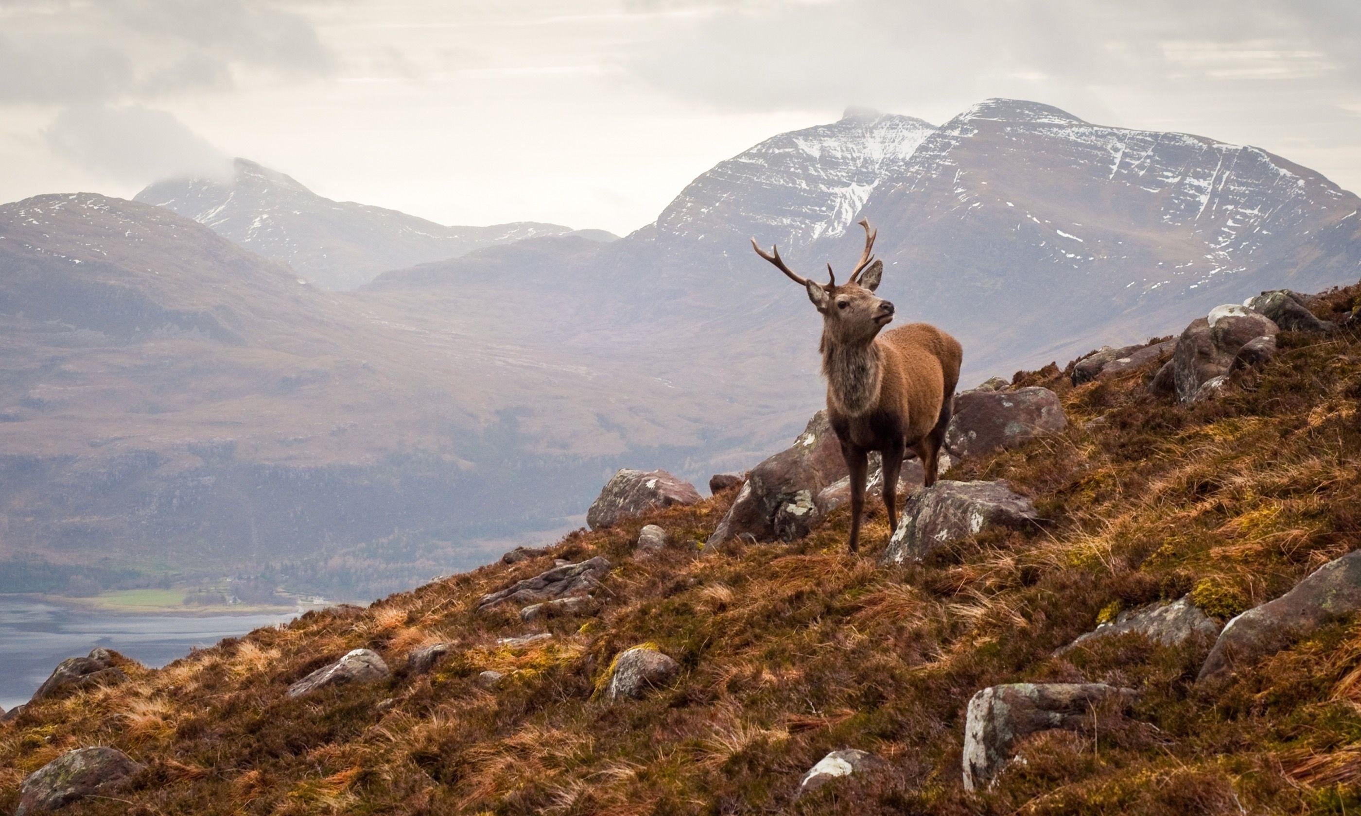 A wild stag in Scotland (Dreamstime)