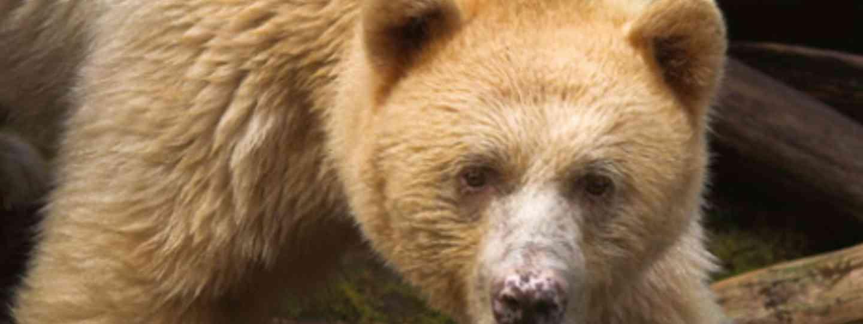 Spirit Bear (Mark Carwardine)