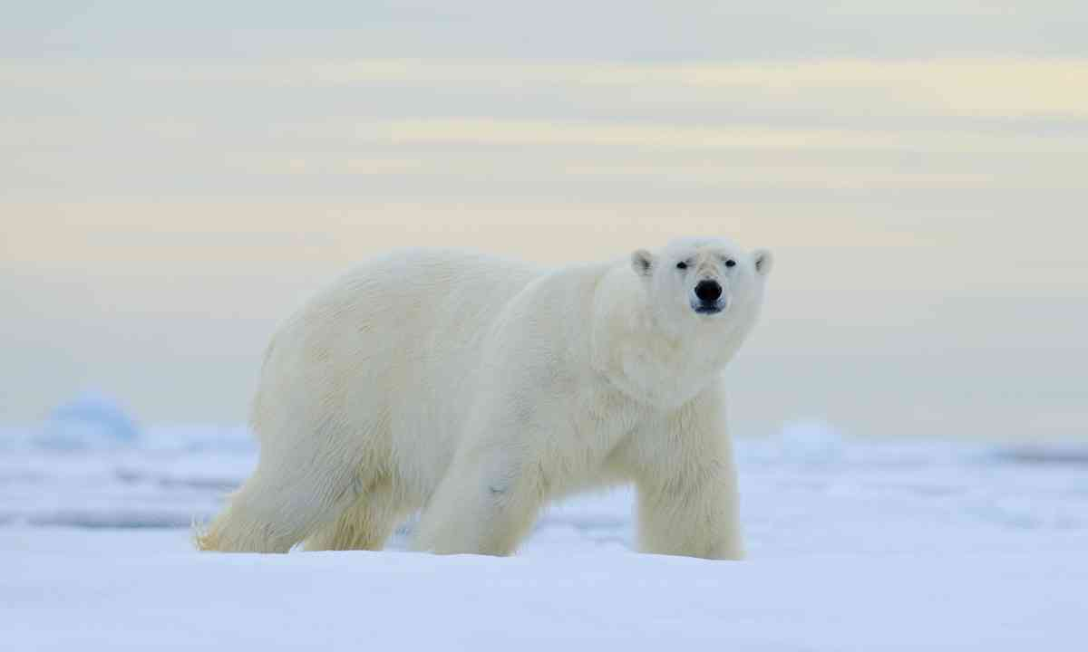 Polar bear in Norway (Shutterstock)