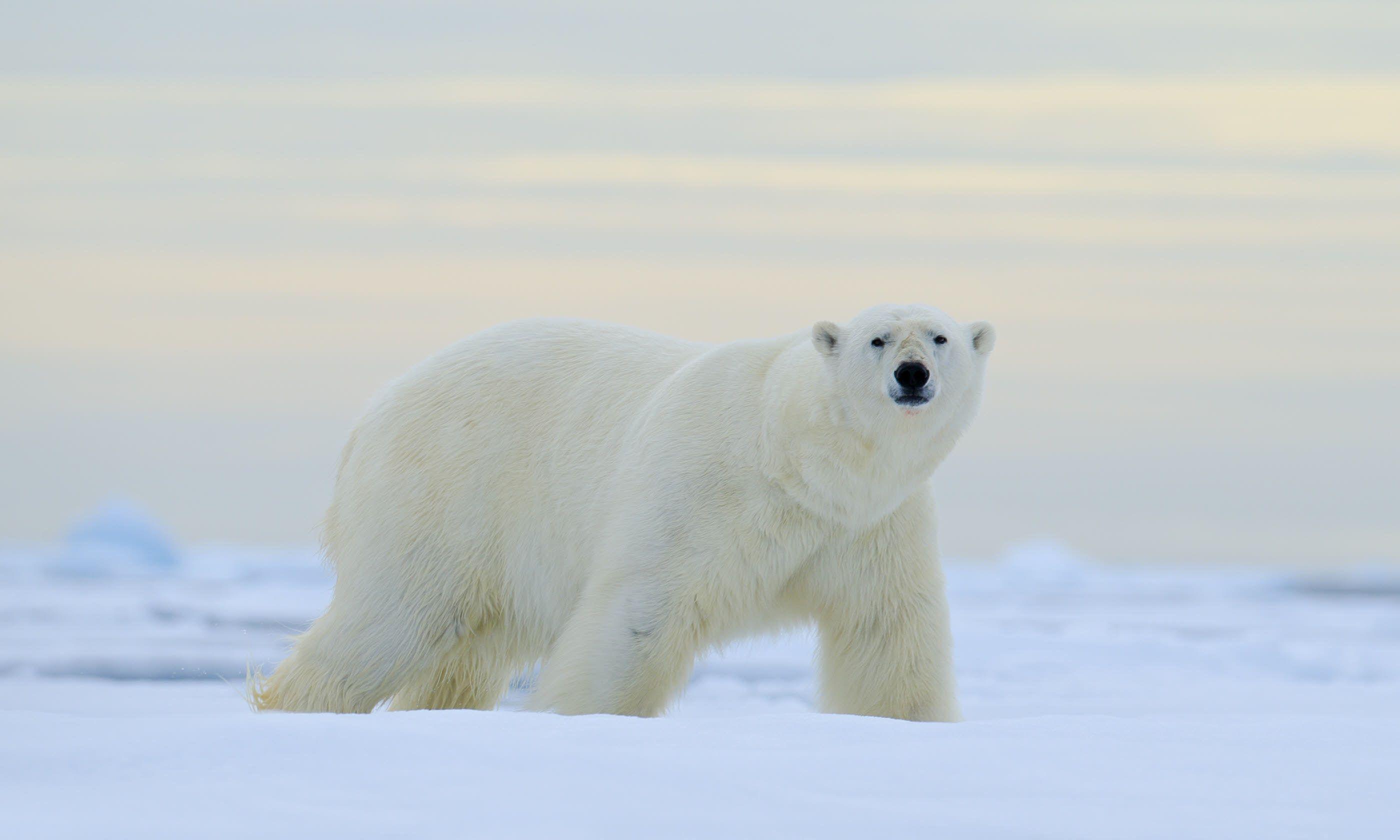Polar bear in Norway (Shutterstock)