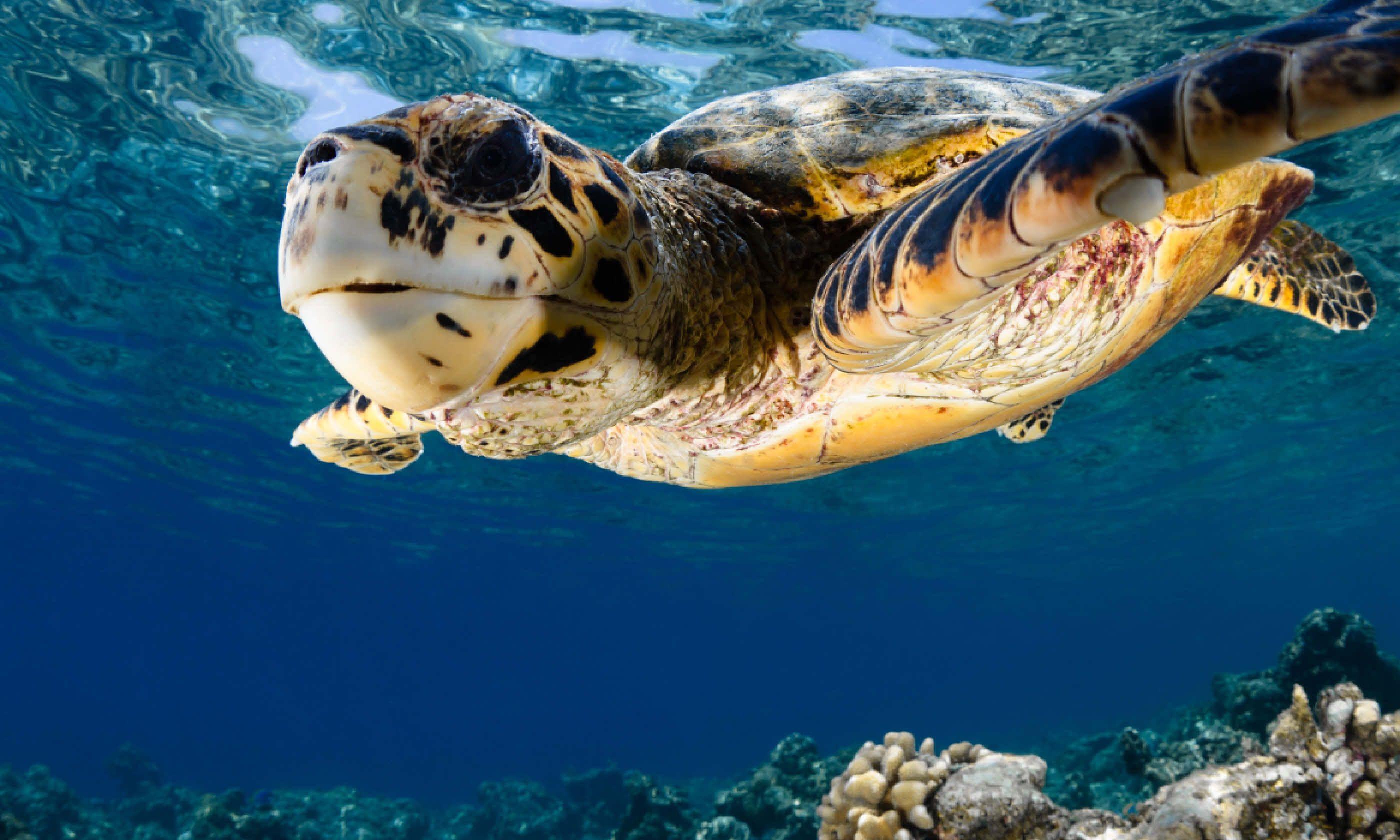 Hawksbill turtle, Maldives (Shutterstock)