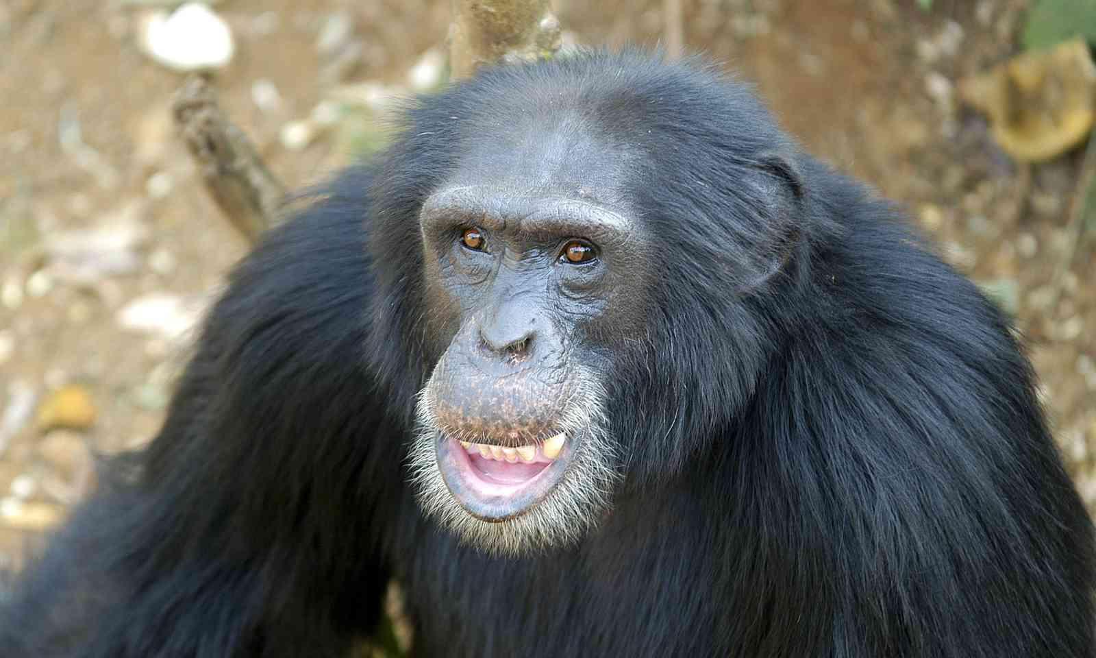 A chimpanzee in Sierra Leone (Dreamstime)