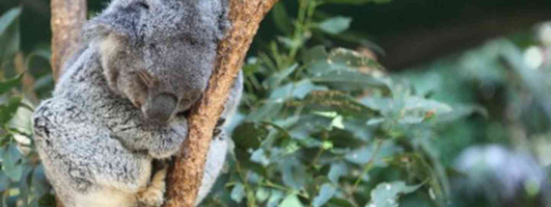 Sleeping koala (Nina Matthews)