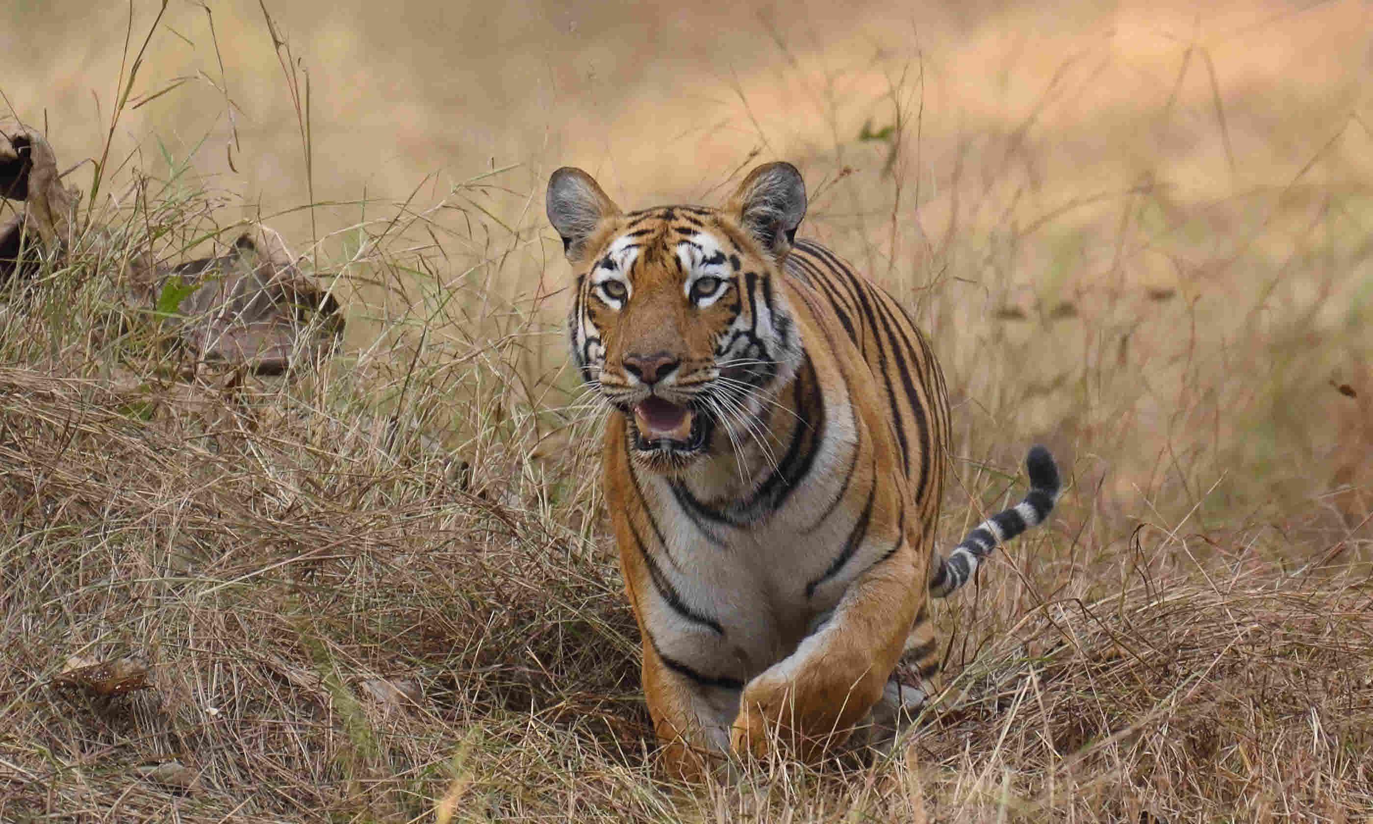 Tiger in Maharashtra, India (Shutterstock)