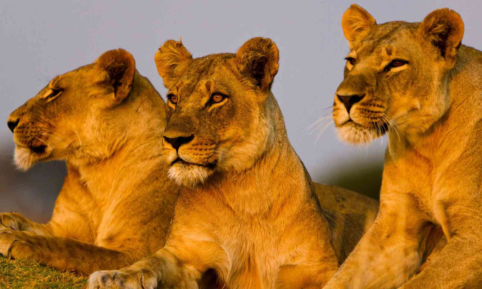 Lions in Ruaha National Park