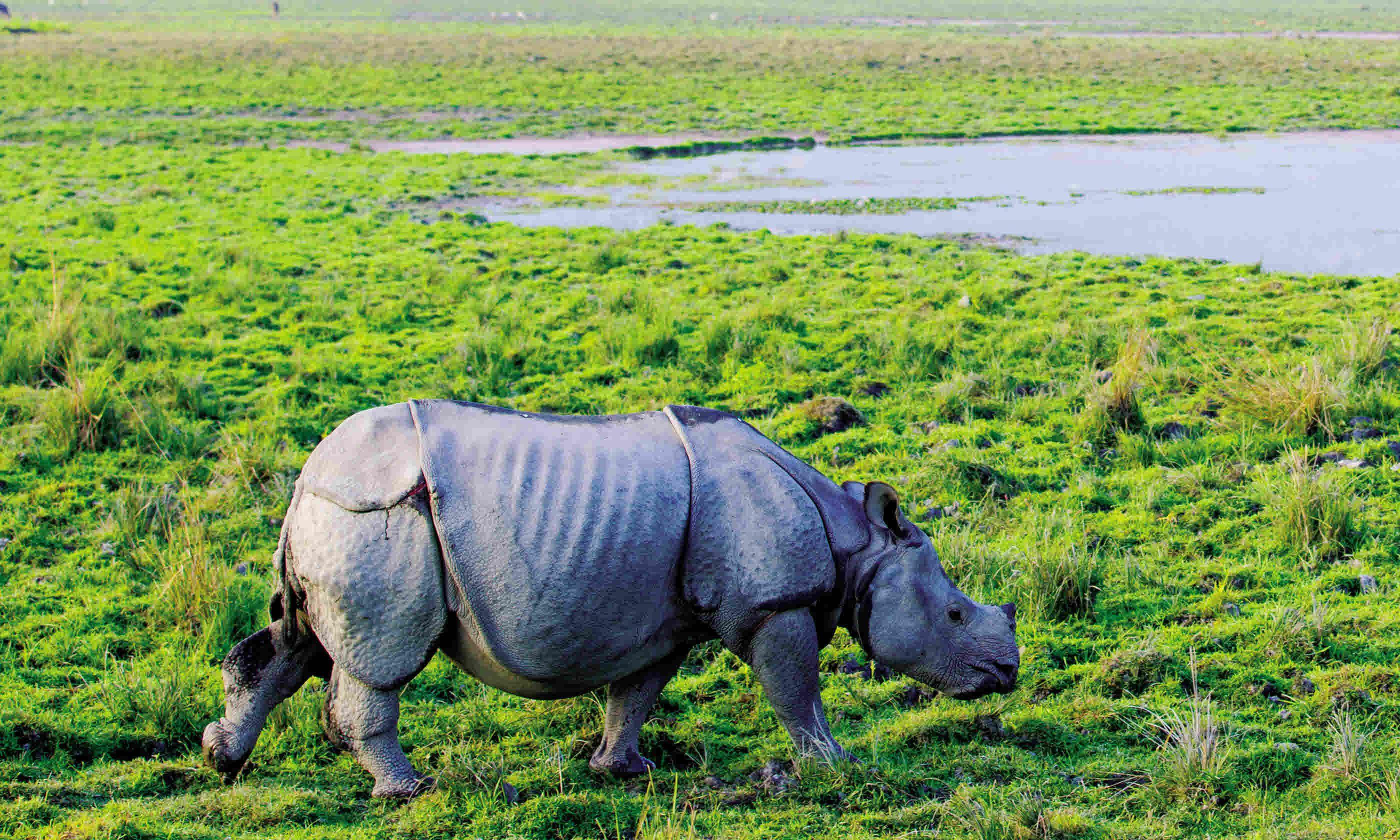 Rhino in Assam (Dreamstime)