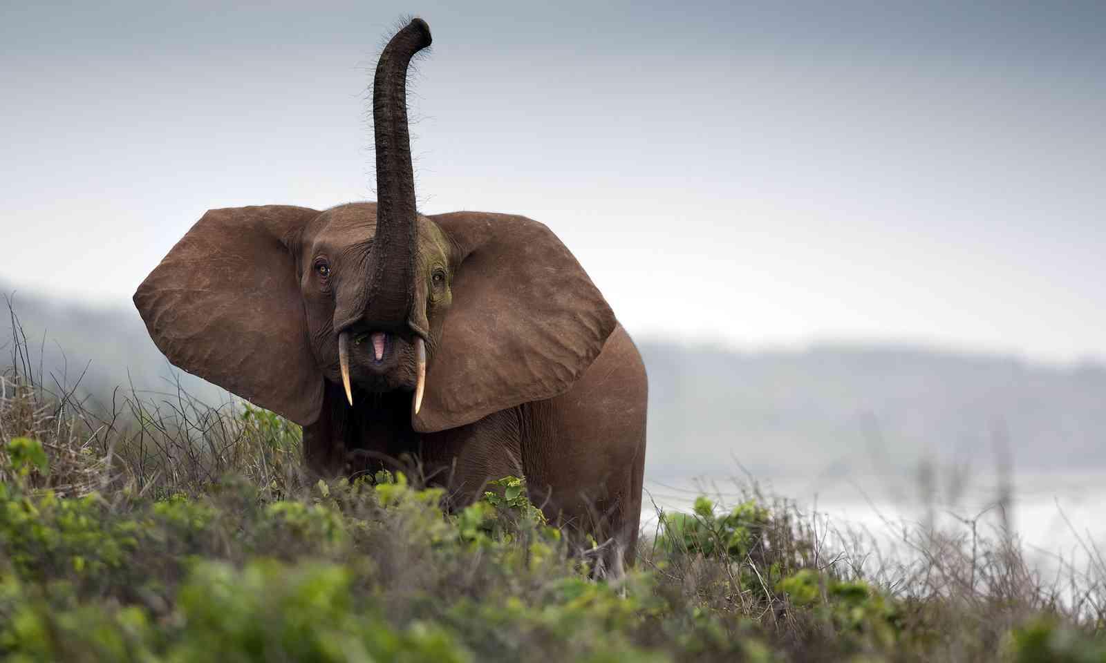 Forest elephant in Gabon (Dreamstime)