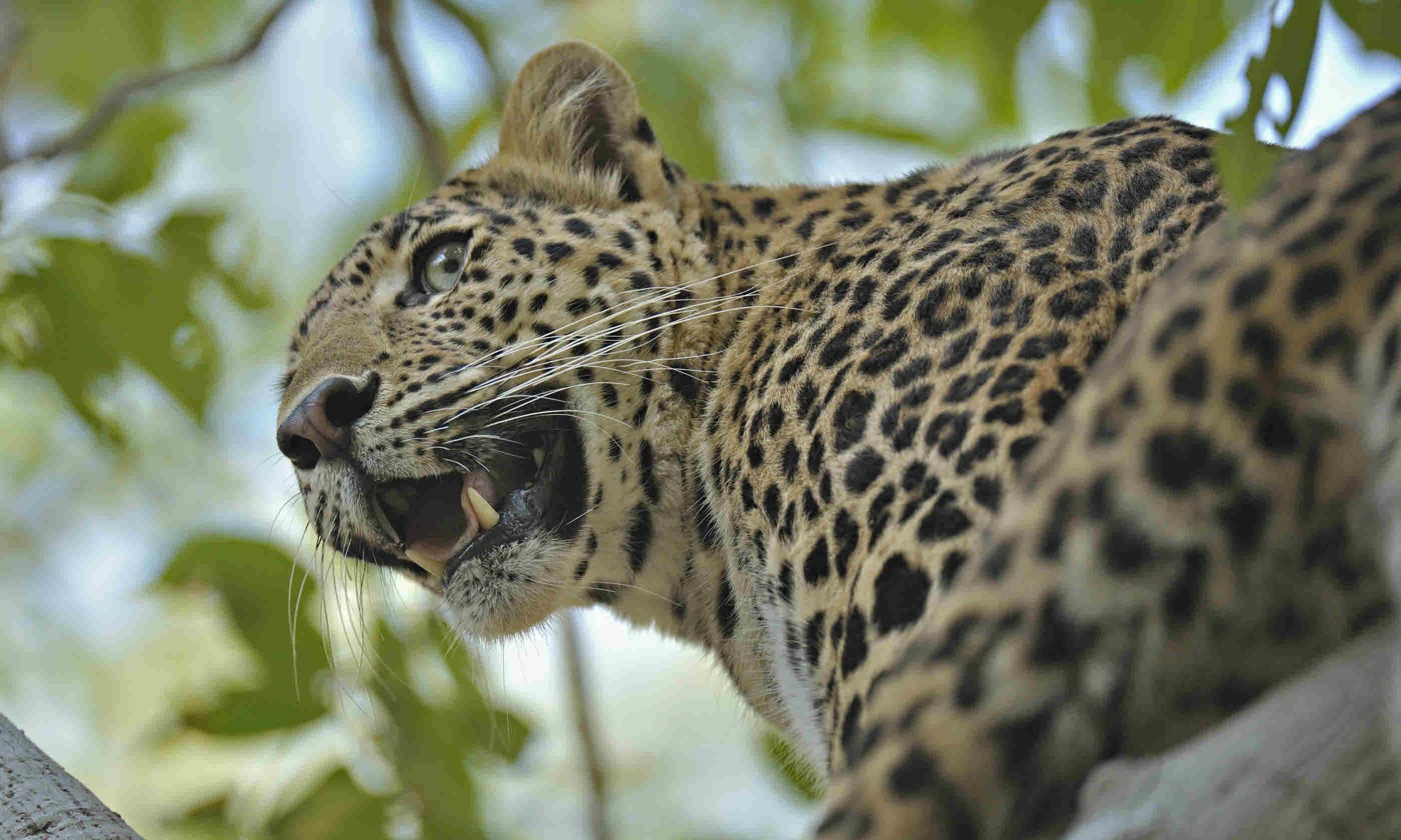 Leopard in Ranthambhore tiger reserve (Shutterstock)