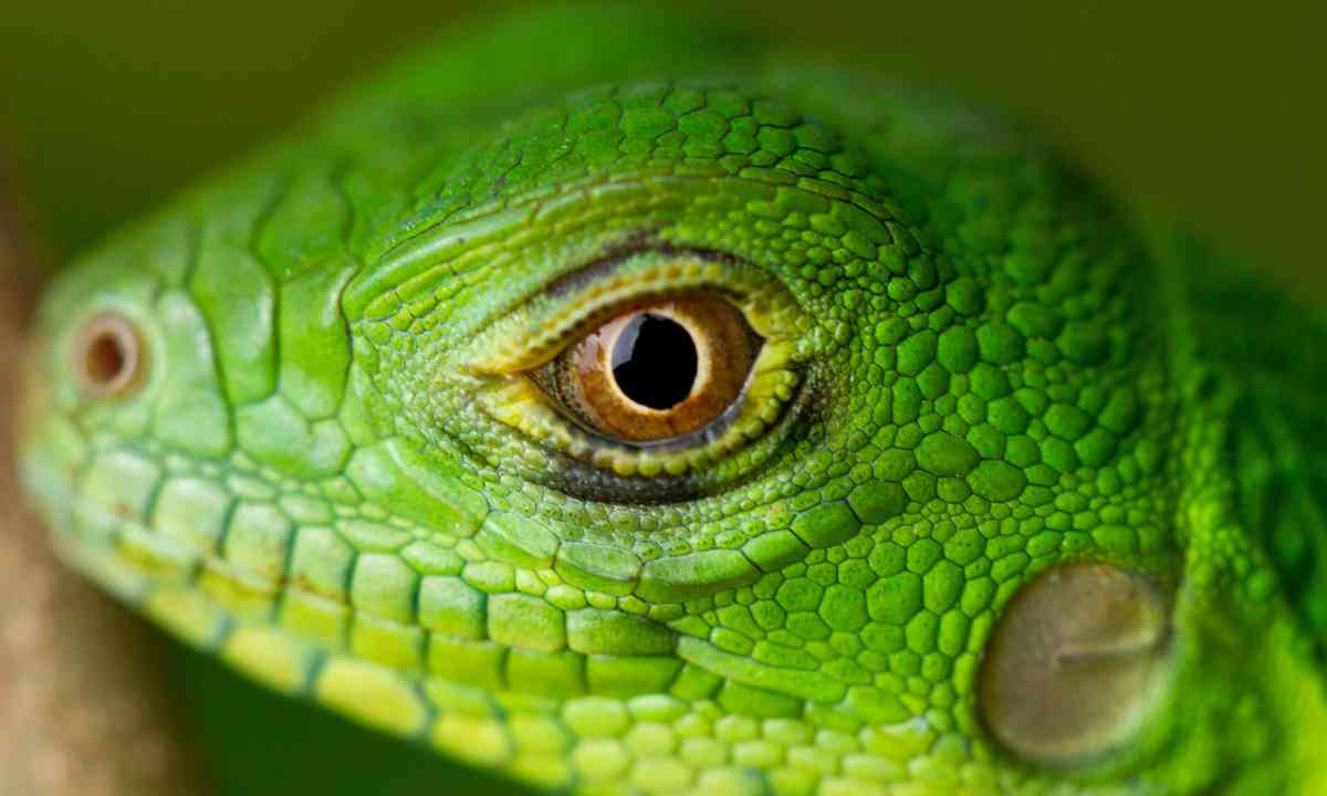 A young Green Iguana (Dreamstime)