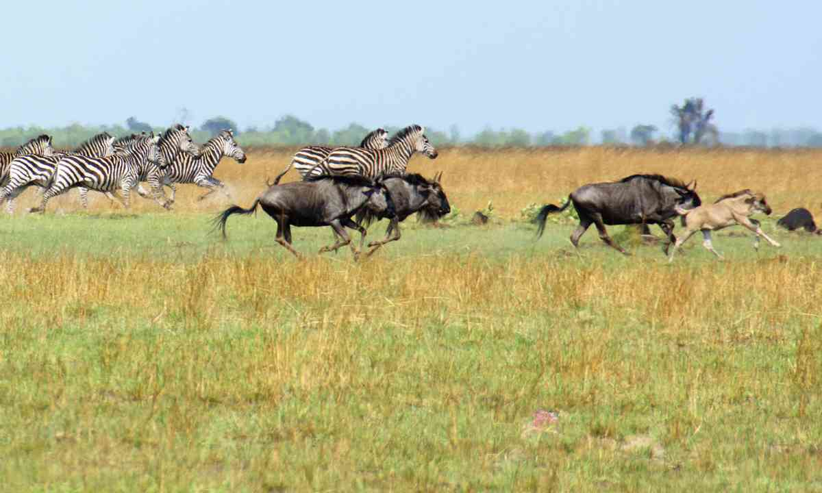 Wildebeest and zebra on Liuwa Plain (Dreamstime)