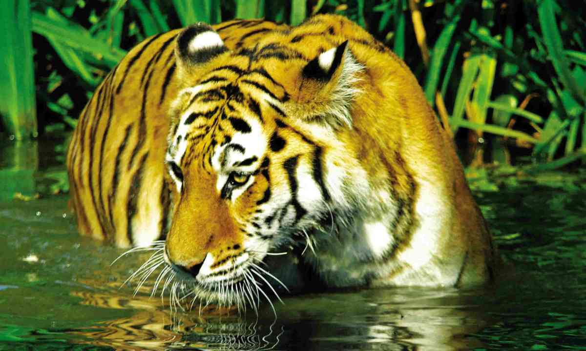 Tiger in West Bengal (Dreamstime)