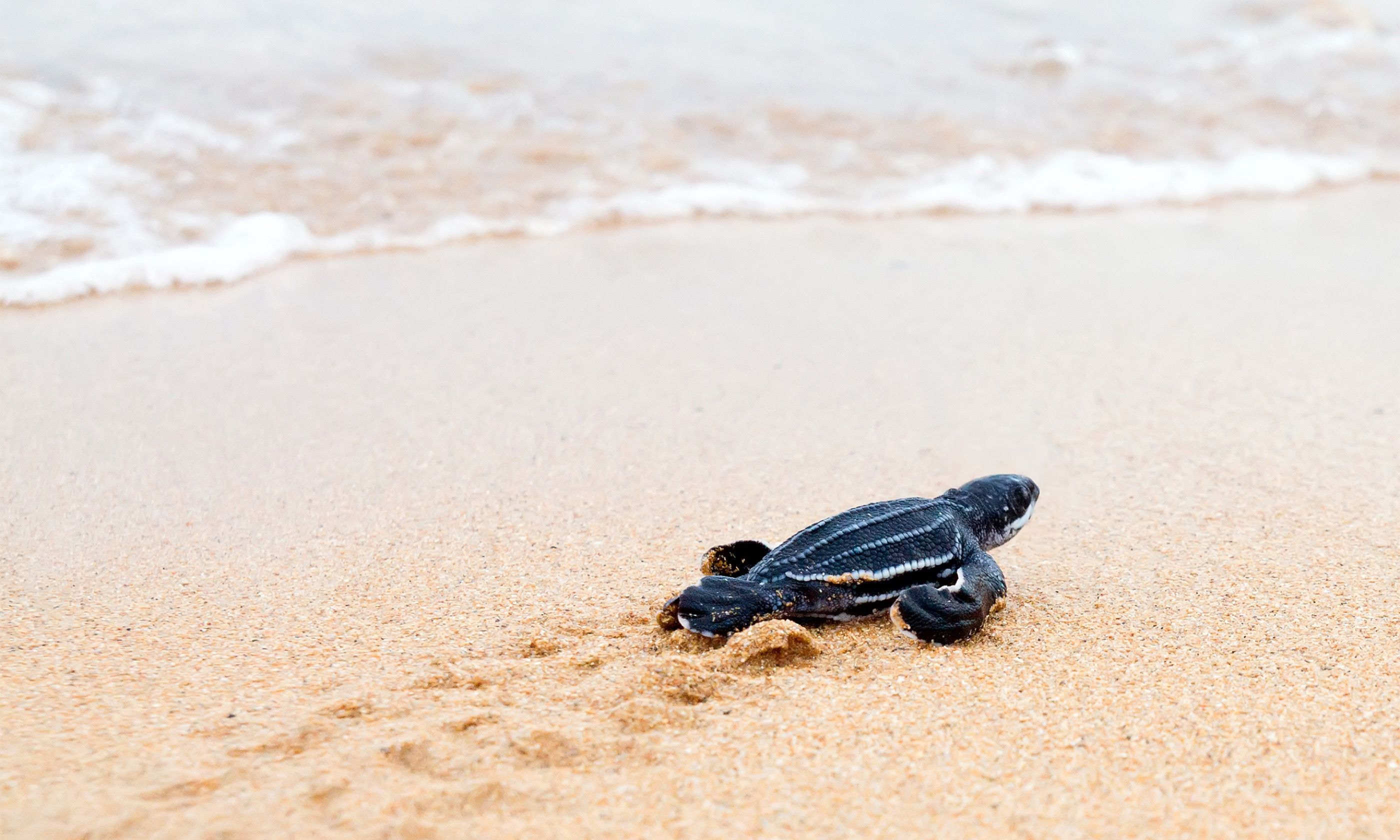 Newly hatched Leatherback in Costa Rica (Shutterstock.com)