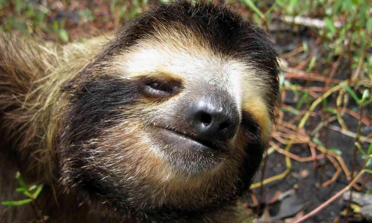 Three-toed sloth, Costa Rica (Shutterstock.com)
