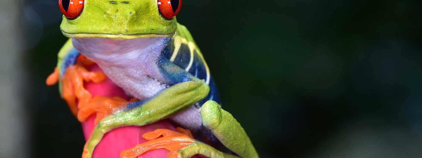 Red eyed tree frog in Costa Rica (Dreamstime)