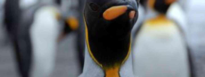 King Penguin (Karen Bowerman)