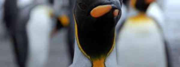 King Penguin (Karen Bowerman)