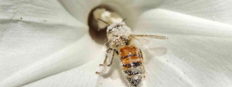 Italian Bee (Eran Finkle)