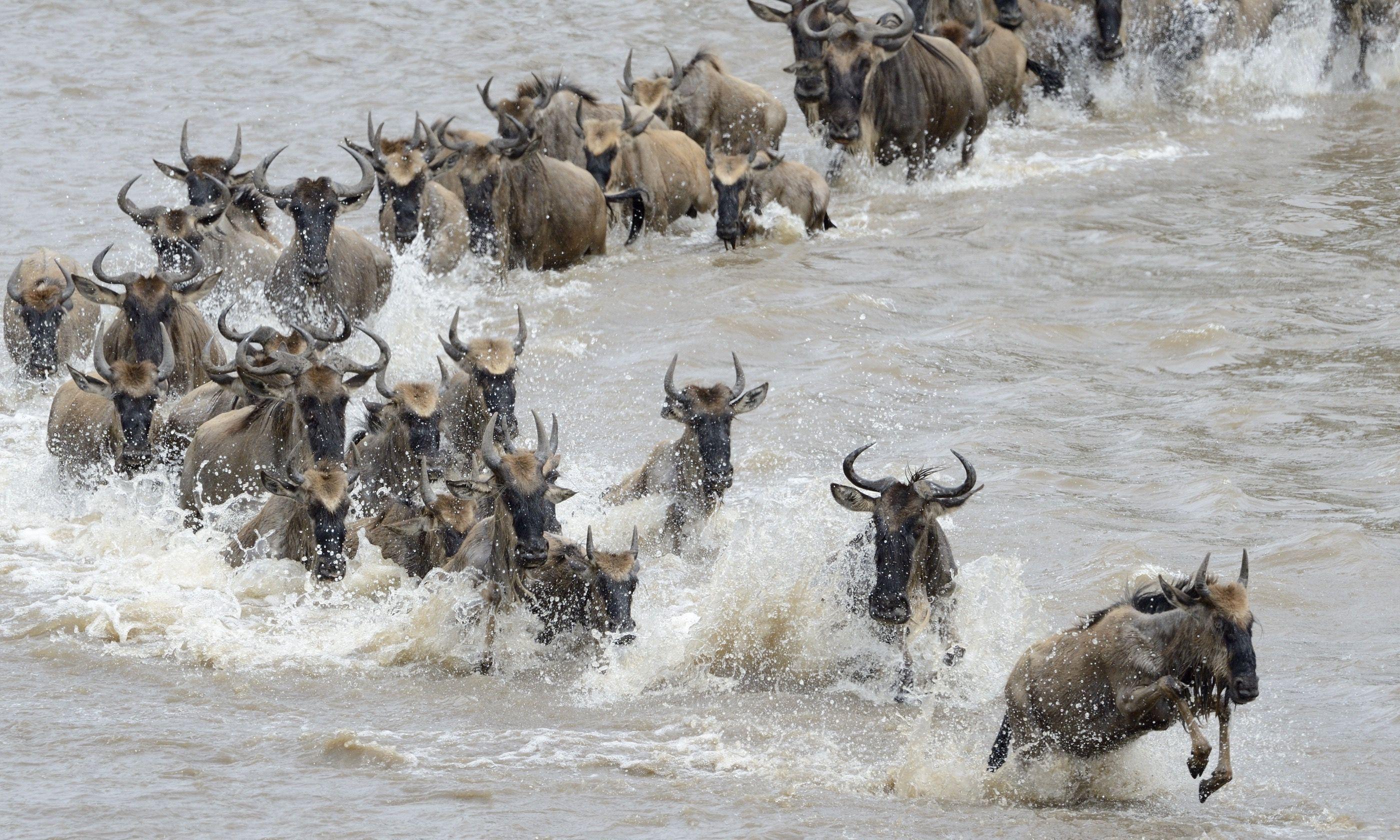 Wildebeest crossing the Mara River (Shutterstock.com)