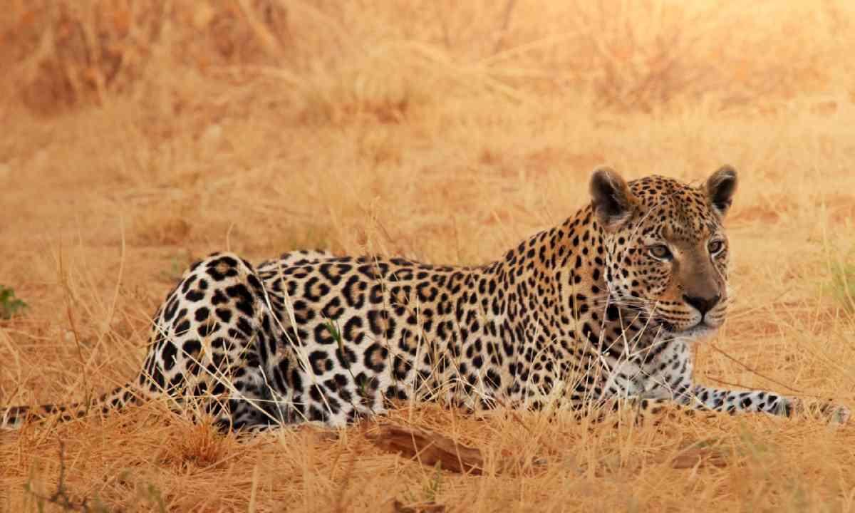Leopard, Namibia (Shutterstock)