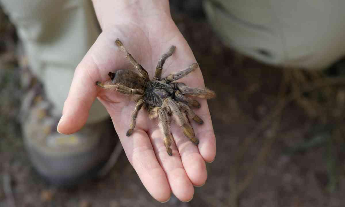 African baboon spider (Shutterstock.com)
