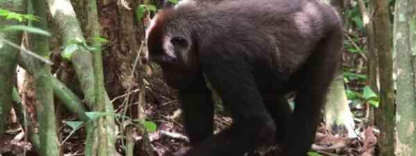 Gorilla encounters are always memorable... (Ian Redmond OBE)