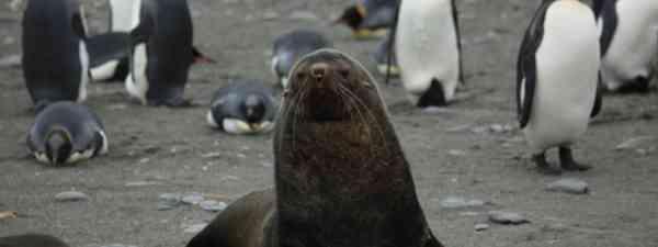 Fur seal (Liam Quinn)