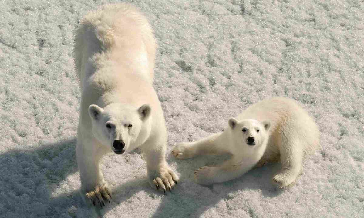 Polar bears, Russia (Dreamstime)