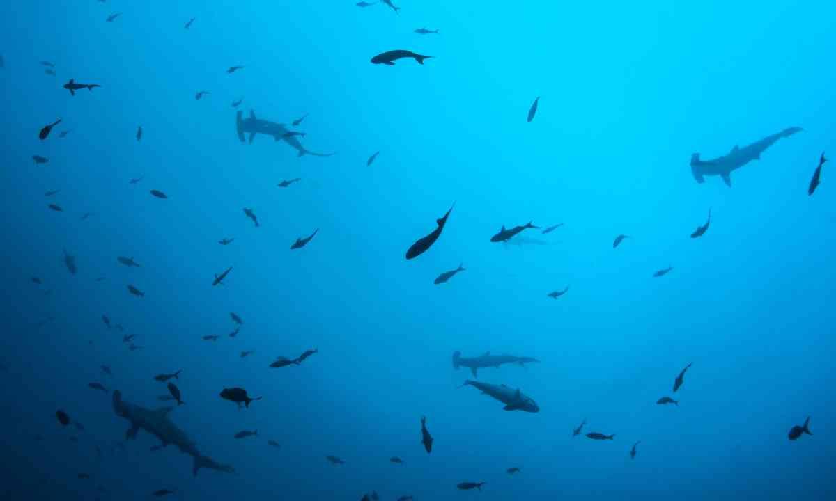 Hammerhead sharks swimming in Cocos Island (Dreamstime)