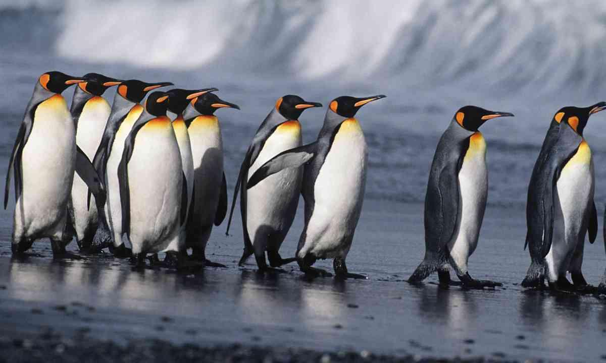 Penguins in the sandwich islands (Dreamstime)