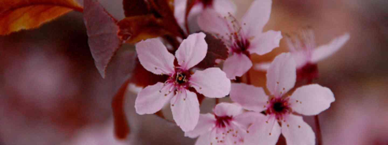 Cherry Blossom (AnneCN)