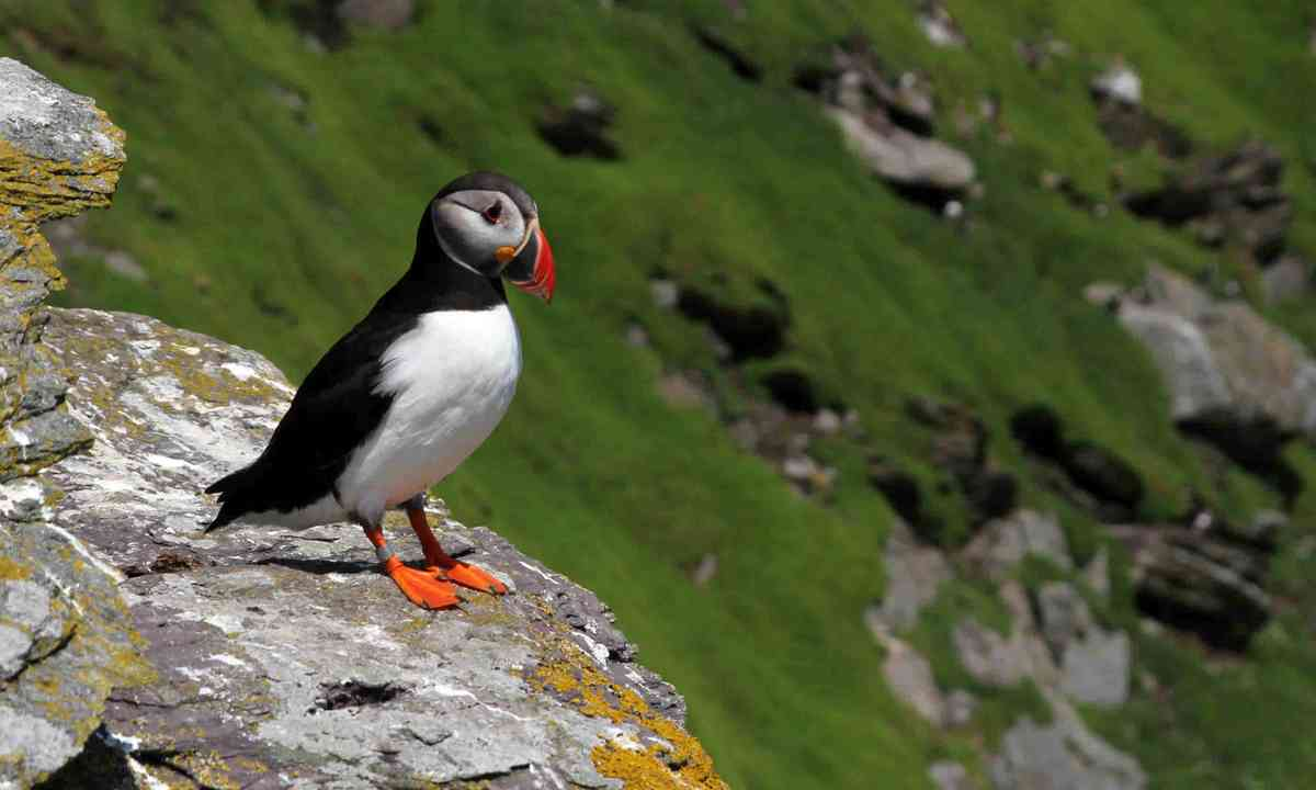 Puffin on Skellig Michael Island (Dreamstime)