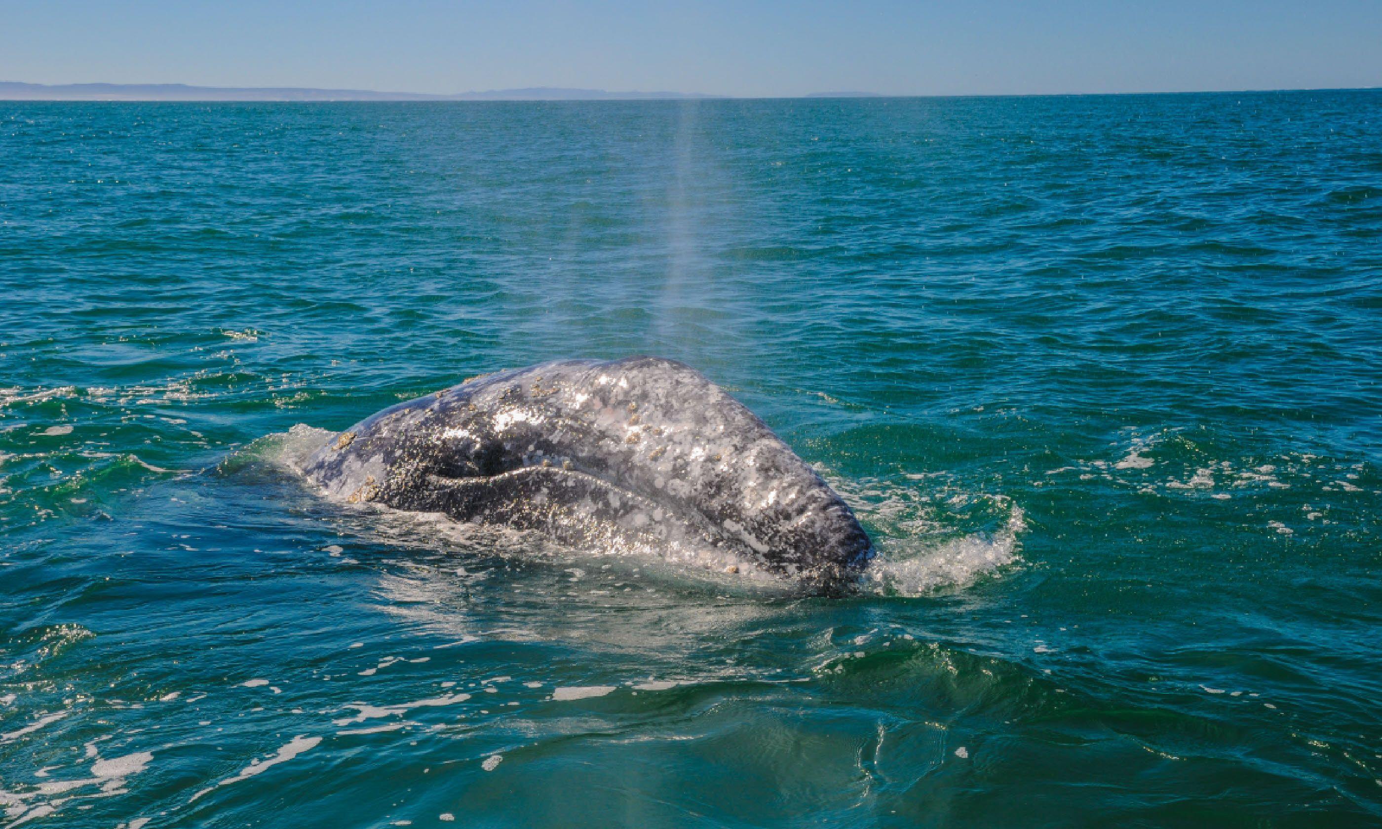 Gray whale in Guerrero Negro bay, Mexico (Shutterstock)