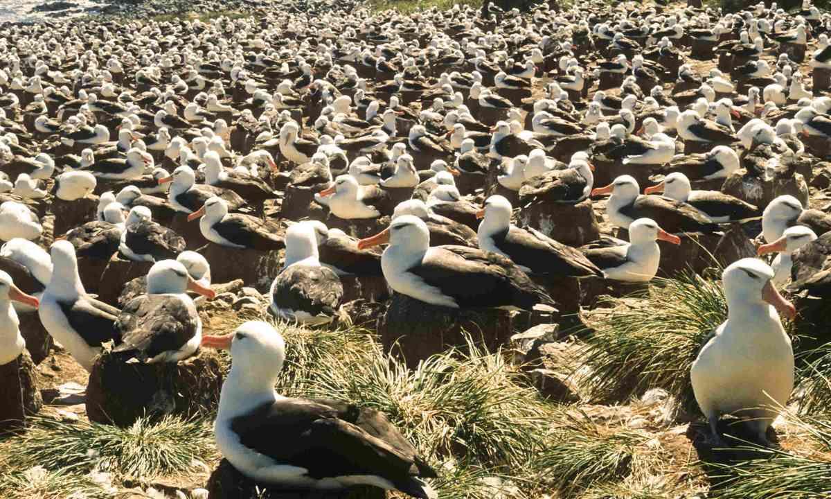 Black-browed albatrosses colony, Falkland Islands (Dreamstime)