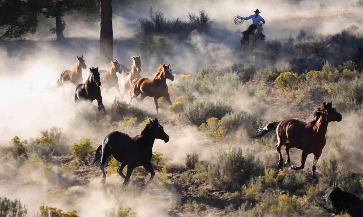 Cowboy rounding up horses (Dreamstime)