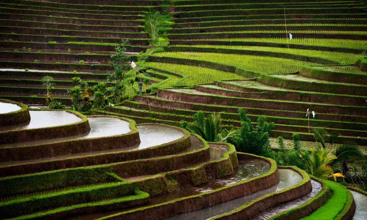 Bali rice field (Dreamstime)