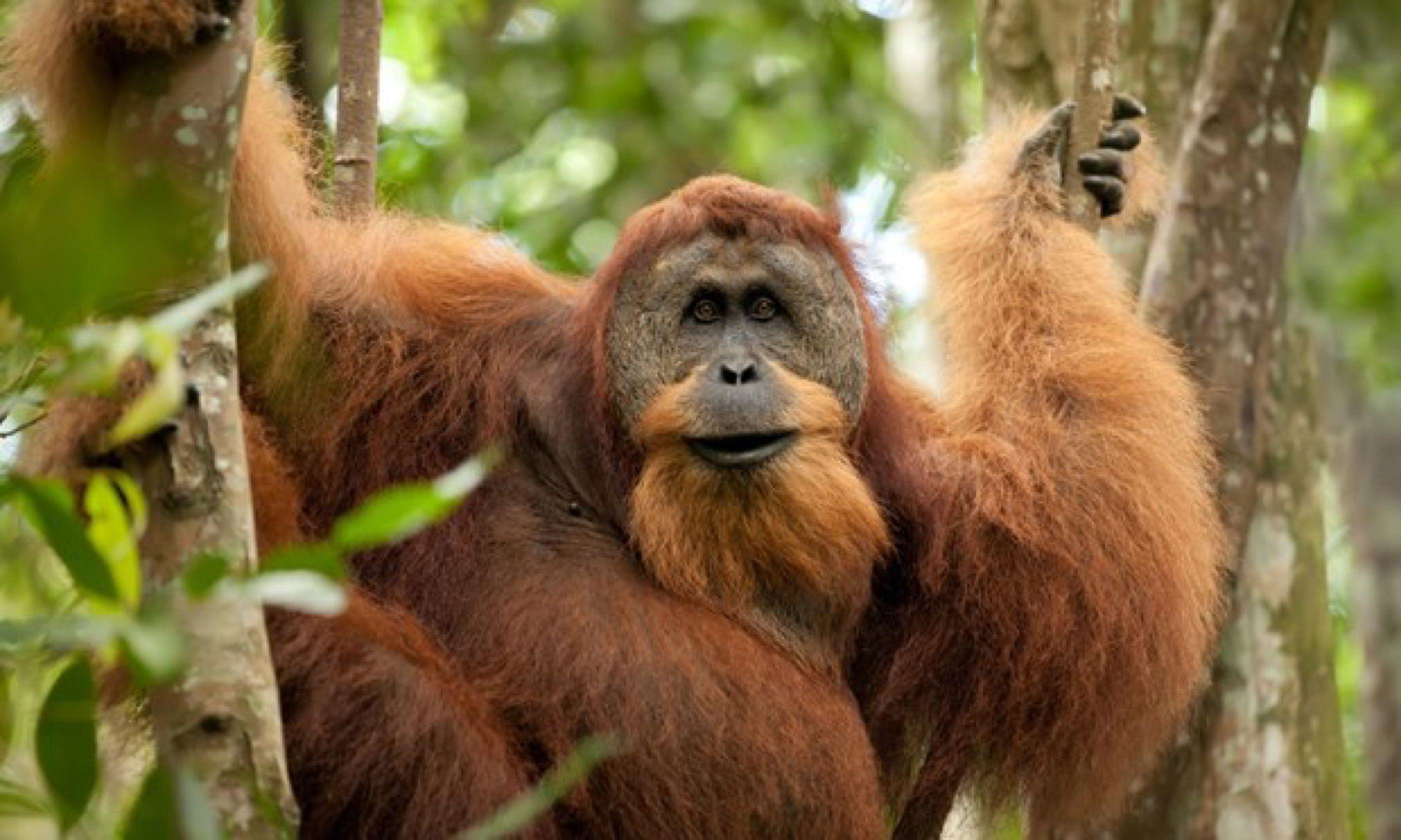 Orang-utan in Sumatra (Shutterstock)