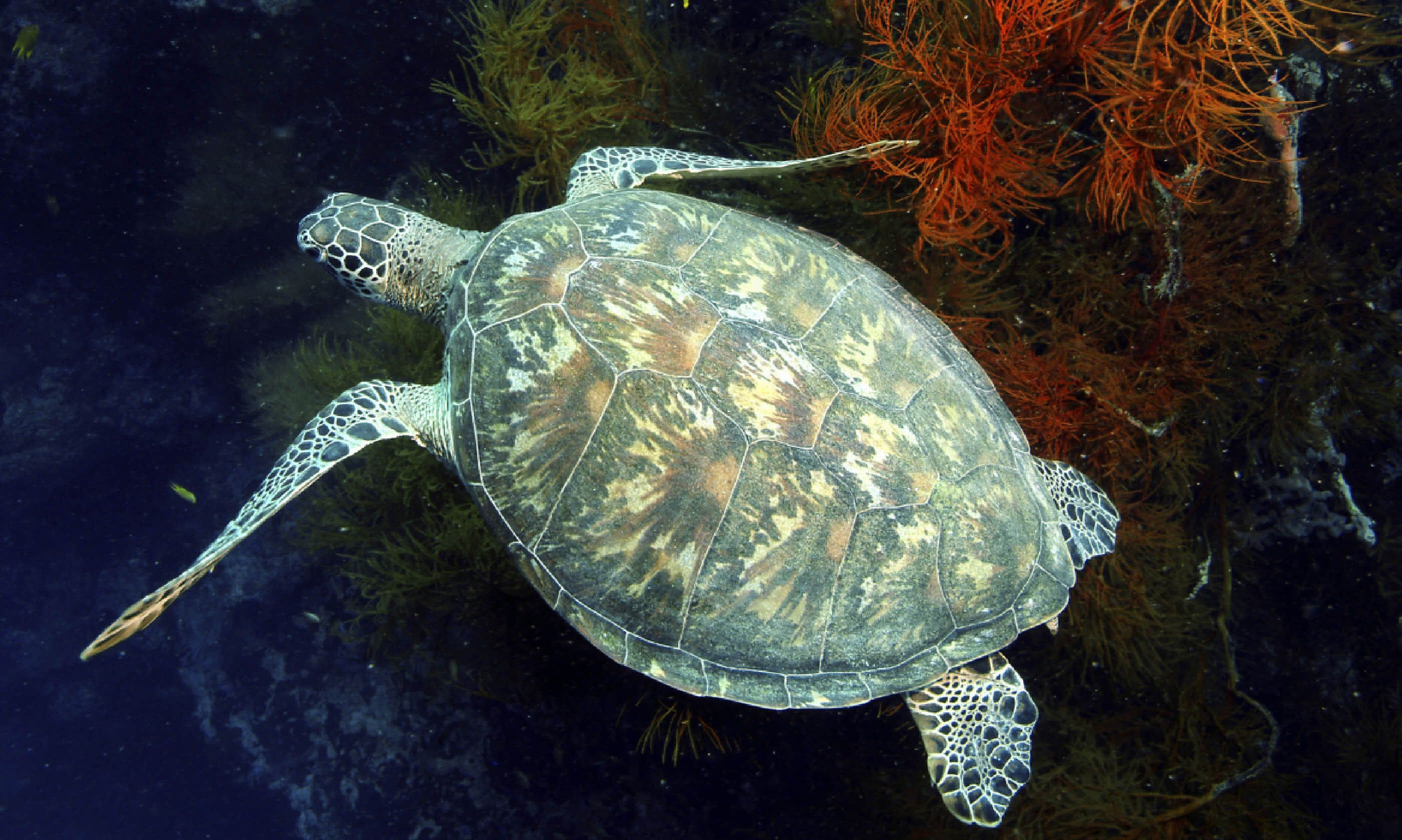 Green sea turtle in Sipadan (Dreamstime)