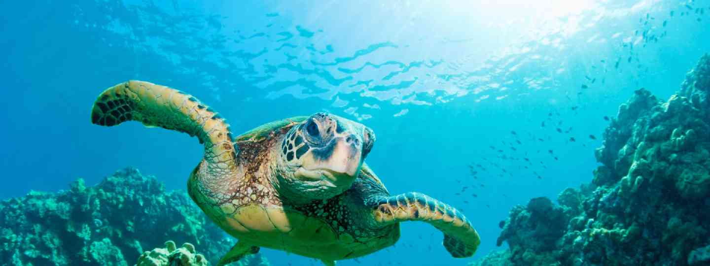 Green sea turtle (Dreamstime)