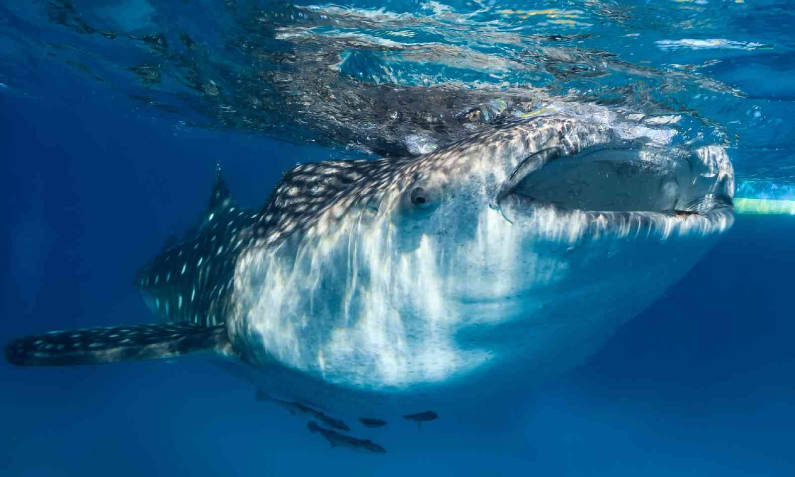 Whale shark feeding at the surface (Dreamstime)