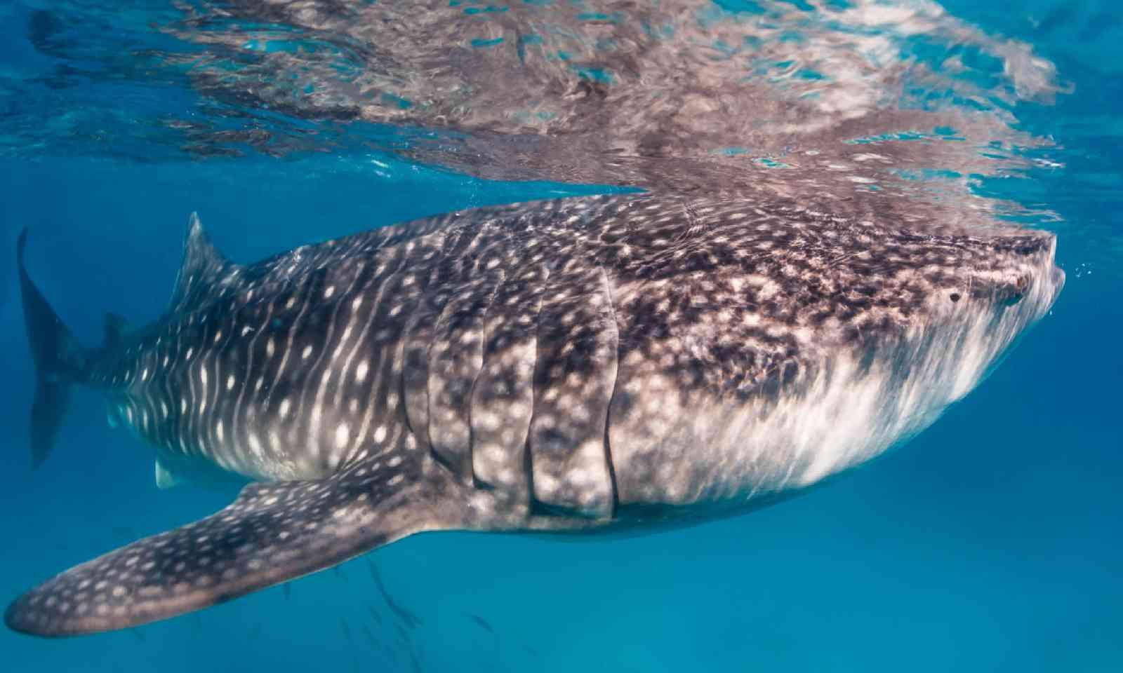 Whale shark swimming in clear water near surface (Shutterstock)