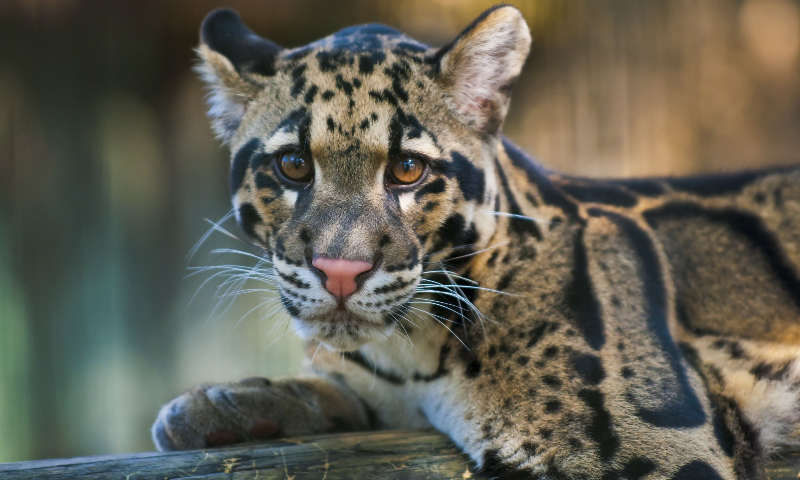 Clouded leopard (Dreamstime)