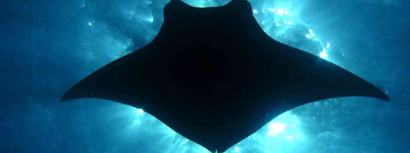 Manta Ray (Dreamstime. See main credit below)