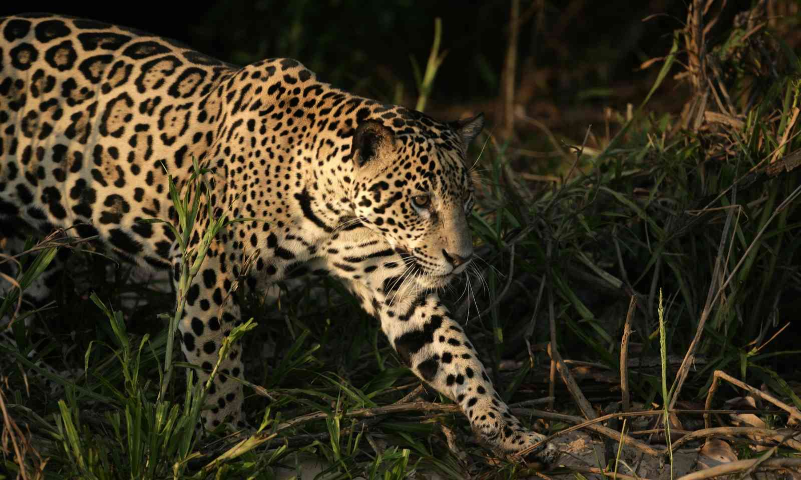 A jaguar in the Pantanal (Dreamstime)