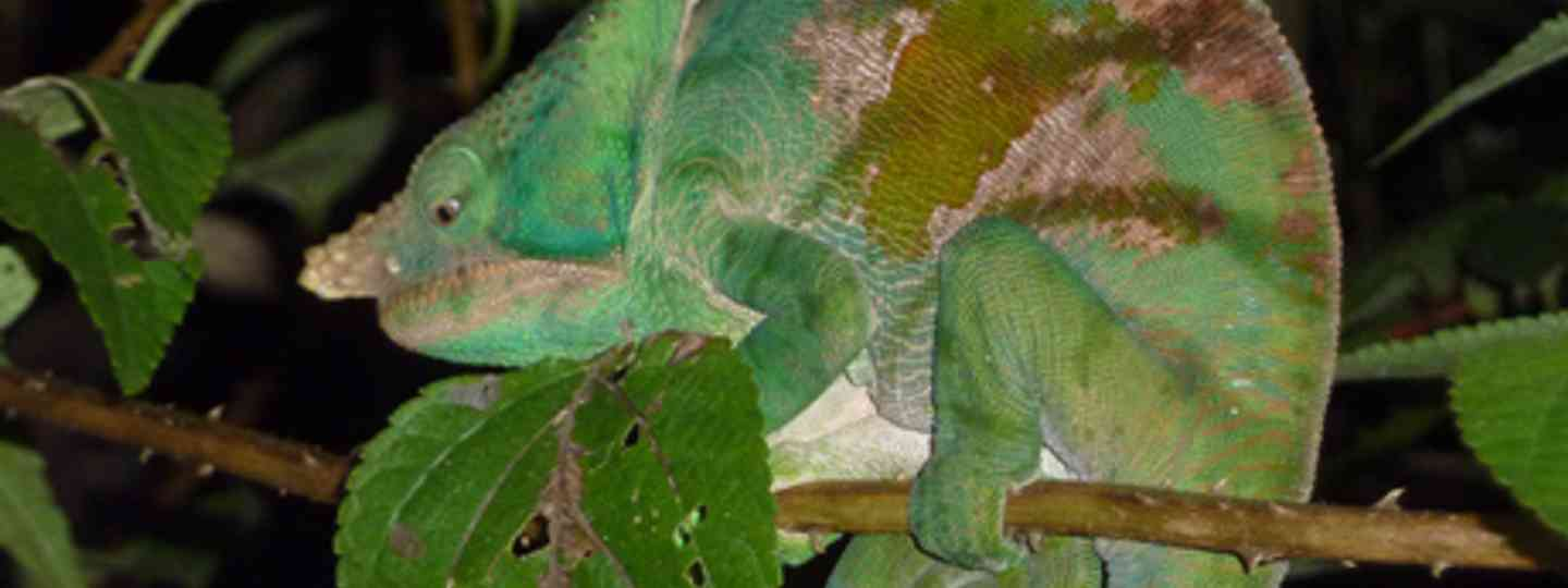 The Karma Chameleon of Andasibe (Marie Javins)