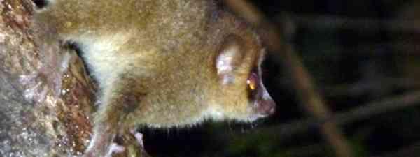 Mouse lemur (Marie Javins)