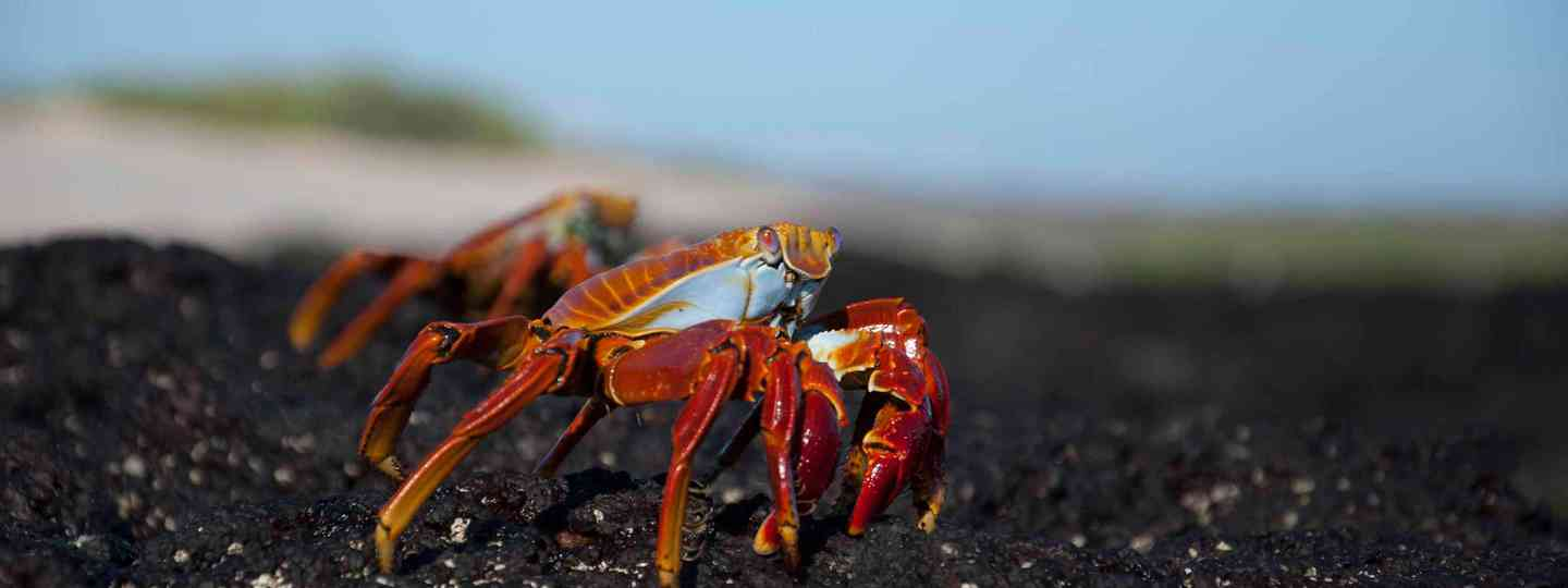 Sally Light-foot crabs, Galapagos Islands (Simon Chubb)