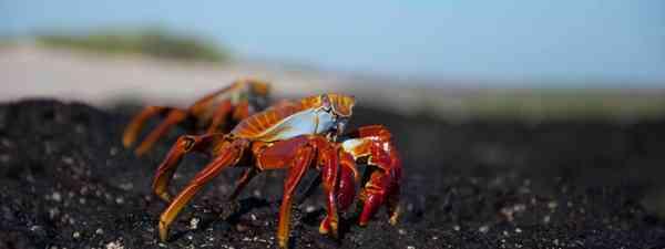 Sally Light-foot crabs, Galapagos Islands (Simon Chubb)