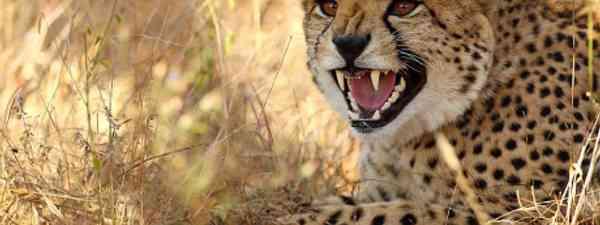 Snarling cheetahs