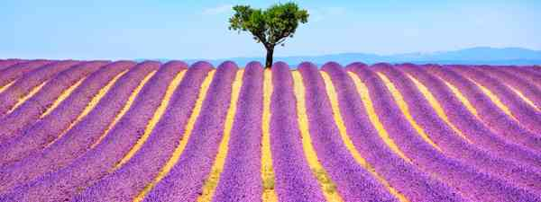 Lavender field in Provence (Dreamtime. See main credit below)